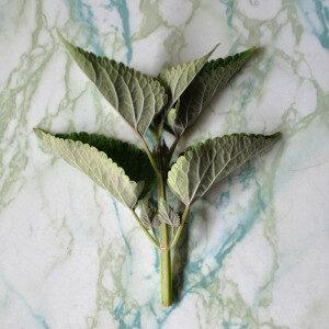 Agastache Rugosa (erbe spontanee e fiori eduli) - Erbario Civran