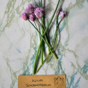 Allium Schoenoprasum (fiori eduli) - Erbario Civran