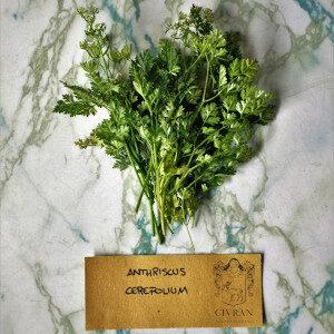 Anthriscus Cerefolium (erbe spontanee) - Erbario Civran