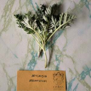 Artemisia Absinthium (erbe spontanee) - Erbario Civran