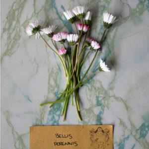 Bellis Perennis (fiori eduli) - Erbario Civran