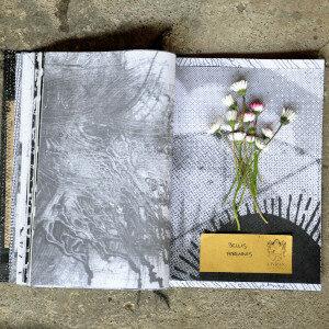 Erbario Civran - Bellis Perennis (fiori eduli)