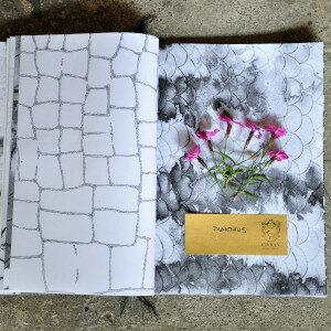 Erbario Civran - Dianthus (fiori eduli)