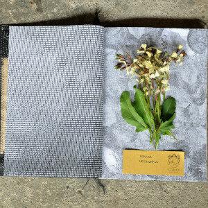 Erbario Civran - Eruca Vesicaria (fiori eduli)