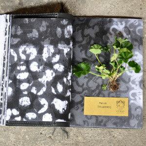 Erbario Civran - Malva Sylvestris (erbe spontanee e fiori eduli)