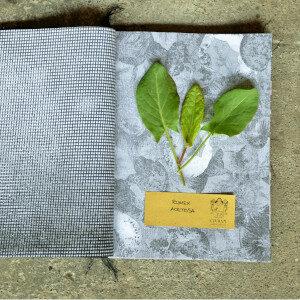 Erbario Civran - Rumex Acetosa (erbe spontanee)