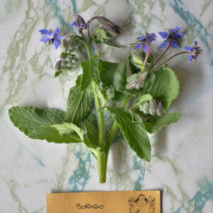 Borago Officinalis (erbe spontanee e fiori eduli) - Erbario Civran