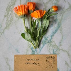 Calendula Officinalis (fiori eduli) - Erbario Civran