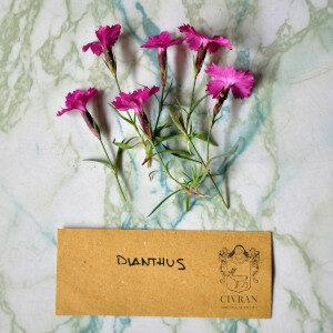 Dianthus (fiori eduli) - Erbario Civran