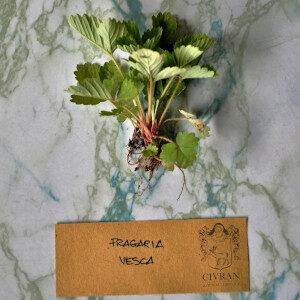 Fragaria Vesca (erbe spontanee) - Erbario Civran