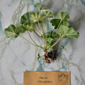 Malva Sylvestris (erbe spontanee e fiori eduli) - Erbario Civran