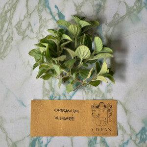 Origanum Vulgare (erbe spontanee) - Erbario Civran