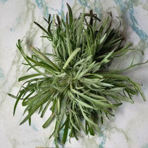 Plantago Coronopus (erbe spontanee) - Erbario Civran