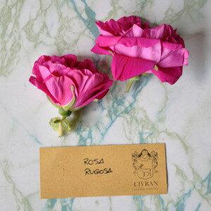 Rosa Rugosa (fiori eduli) - Erbario Civran