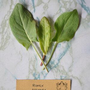 Rumex Acetosa (erbe spontanee) - Erbario Civran
