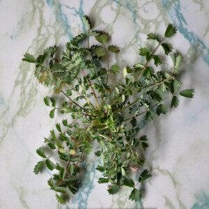 Sanguisorba Minor Hortensis (erbe spontanee) - Erbario Civran