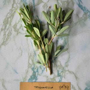 Trigonella Foenum-Graecum (erbe spontanee) - Erbario Civran