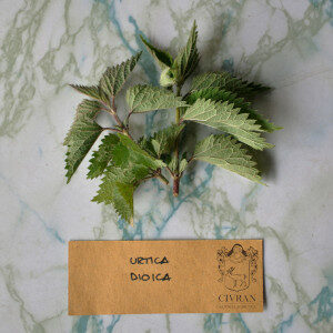 Urtica dioica (erbe spontanee) - Erbario Civran